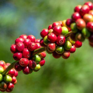 Cà phê nguyên chất giá rẻ vũng tàu