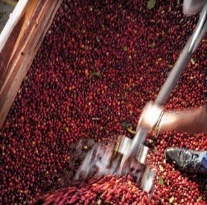 Cà phê chế biến ướt full washed processing